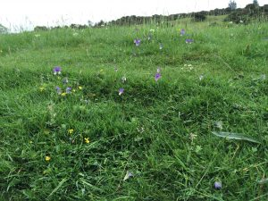 Pansies and other wild meadow flowers by the Tees